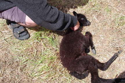 Couple Bring Blind Baby Alpaca on 1,000 Mile Journey Home