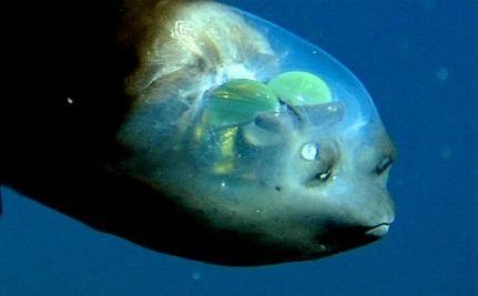 Rare Video Allows Look Inside Barreleye Fish's Head