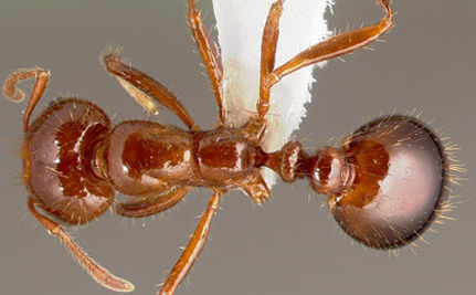 Fire Ants Link To Form Single, Unsinkable Raft