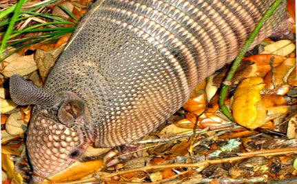 Armadillos Can Transfer Leprosy To Humans