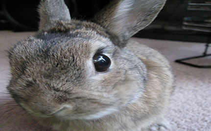 Family Rescues Paraplegic Bunny, Gives It Wheels (VIDEO