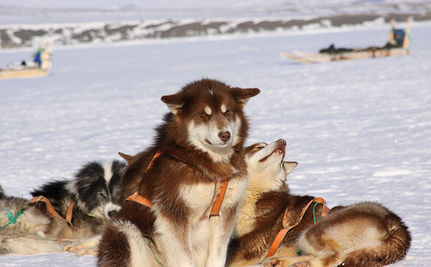 100 Slain Sled Dogs Will Be Exhumed From Mass Grave