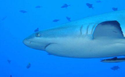 The $1.9 Million Sharks of Palau (VIDEO)