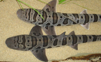 Dozens Of  Dead Leopard Sharks Found In California Lagoons