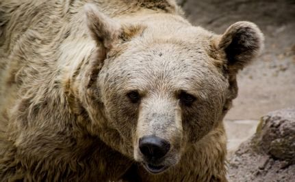 Italy's Rare Bear in Losing Battle Against Extinction