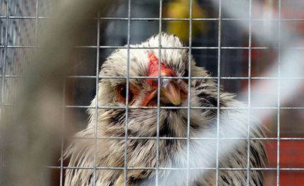 Live Bird Sales Banned at Farmer's Market