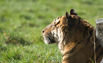 Victory! ALDF Wins Freedom for Tony the Truck Stop Tiger