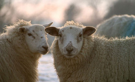 Mass General Ends Lethal Sheep Lab
