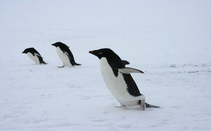 Why Global Warming Spells Disaster For Ad�lie Penguins (VIDEO)