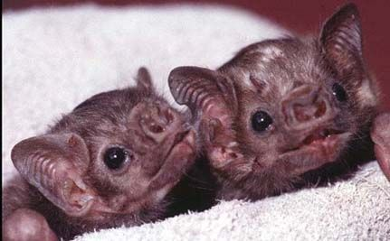 Stroke Treatment Being Developed From Vampire Bat Saliva