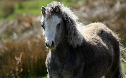 "Law Would Leave Nevada ""Littered With Dead Wild Horses"""