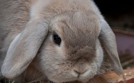 Bunny Rabbits Compete In Show Jumping — VIDEO