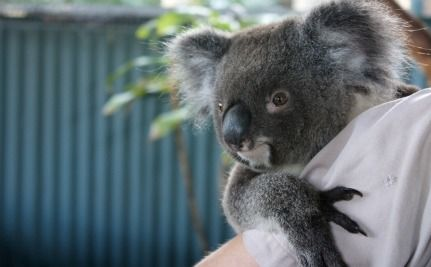 Stolen Koala Found in Parking Lot After Two Days (VIDEO)