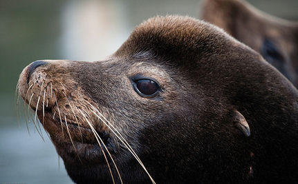 Sea Lions Can Be Killed For Eating Salmon