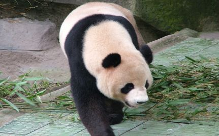 Ming Ming, World's Oldest Panda, Dies at 34 (VIDEO)