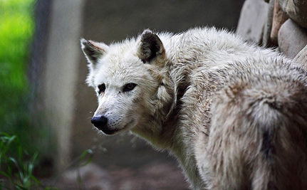 Ranchers Cheer Removal Of Gray Wolf Protection