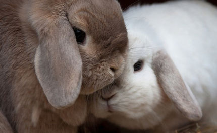Rabbit Breeders Face $4 Million in Fines
