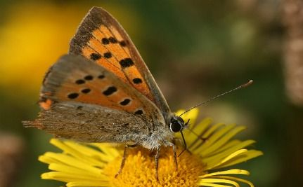 "Female Butterflies Use Their Wings to Tell Males ""Not Available"""