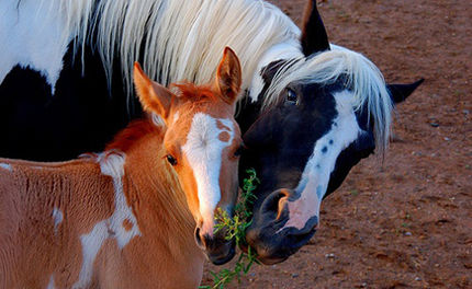 URGENT: Don't Let Congress Fund Horse Slaughter Plant Inspections