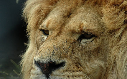 Former Circus Lions Set Free (Video)
