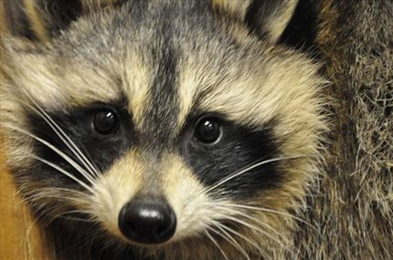 Rescue of Baby Raccoons & Their Mama Stuck in Drainpipe (VIDEO)