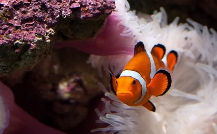 Ocean Acidification Makes Clownfish Go Deaf (Poor Nemo…)