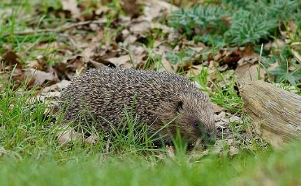 Hedgehog Population Declines by 25% in the UK