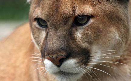 Activist Spotlight: Protecting Florida Panther Habitat