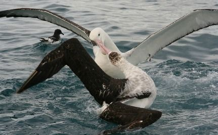 Thousands of Albatross Snared in Fishing Line Hooks (VIDEO)