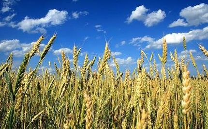 "New ""Super Wheat"" May Save the Globe's Most Vital Food Crop"