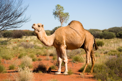 Carbon Credits for Camel Killing?