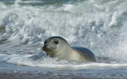5 Gray Seals Found Shot On Cape Cod