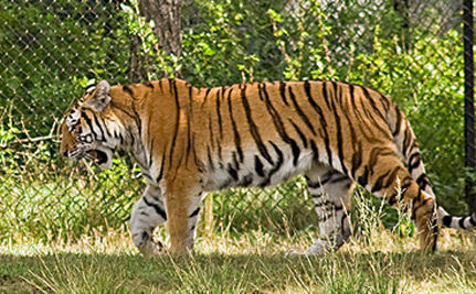 Bangladesh Setting Up A Special Tiger Protection Force