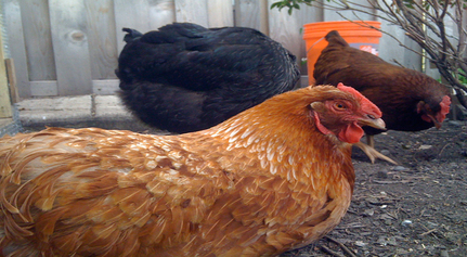 Rescued Hen Shows Scars Of Commercial Breeding