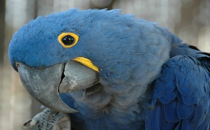 One Of The World's Last Hyacinth Macaws Searches For Romance