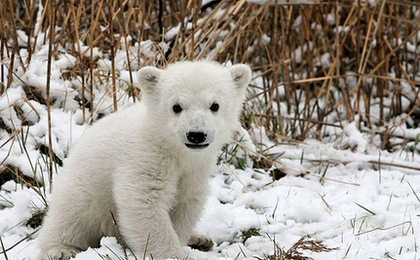 Qannik The Orphaned Polar Bear Cub Moves To Louisville