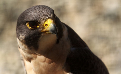 Two Peregrine Falcons Shot in California
