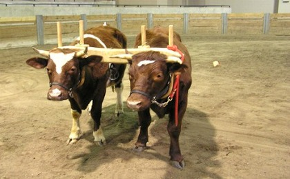Horses & Oxen More Than Pull Their Worth (VIDEO)