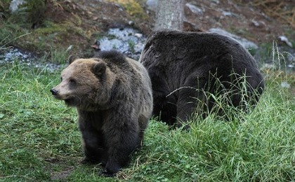 Italian Police Stop Bear Banquet (VIDEO)