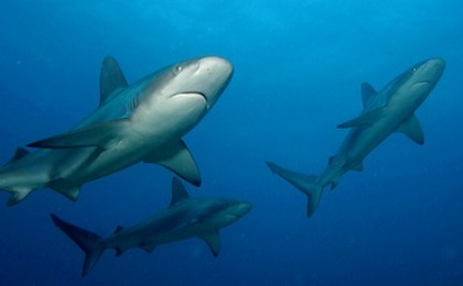 Shark Finning Outlawed In Chilean Waters