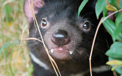 Saving Tasmanian Devils May Lead to Cancer Treatments