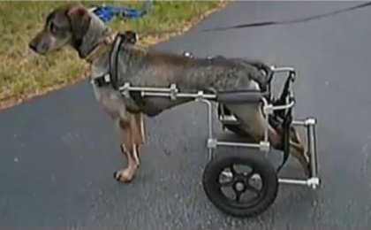 Stolen Doggie Wheelchair Replaced