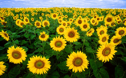 Sunflowers May Heal Fukushima's Radioactive Soil