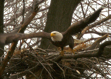 Bald Eagle Nests Flourishing In Pennsylvania