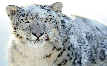 Snow Leopard Population Thriving in Afghanistan