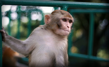 American Airlines Stops Transporting Monkeys For Research