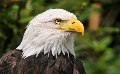 Mouth to Beak CPR Revives Bald Eagle (Video)