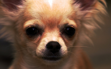 Chihuahua Chases Armed Robbers Out Of California Store — VIDEO