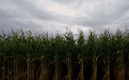 Hungarian Government Destroys GMO Corn Crops