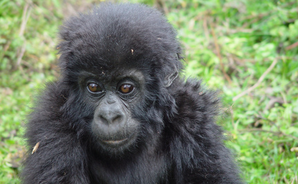Six Gorillas Orphaned by Poachers Get Airlifted Home